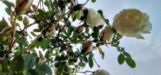 Juhannus saapuu ja ruusut kukkivat.